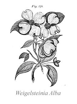 Weigelsteinia Alba